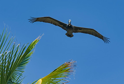 Brown Pelican Over Palm