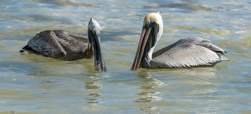 Brown Pelicans Plotting