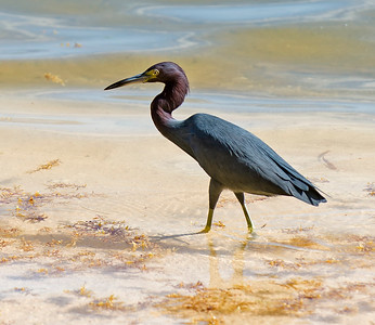 Little Blue Heron and Dinner