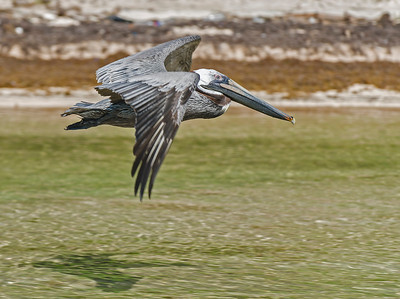 Brown Pelican Passing