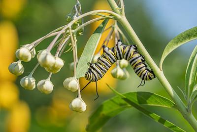 Caterpillar acrobatics