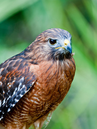Florida Hawk - Pictorial<br /> Score 12<br /> Dwayne Anders
