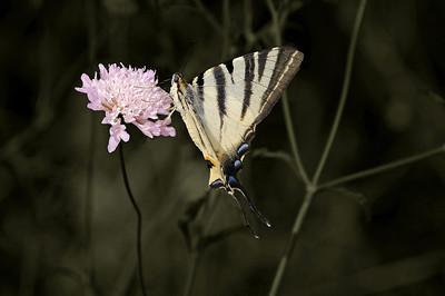 Butterfly in Croatia