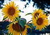 "Carri Mullins - Sunflowers at Sunset.  - <a href=""http://carribethphotography.blogspot.com"">http://carribethphotography.blogspot.com</a>"