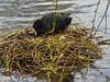 Coot Tending her Nest