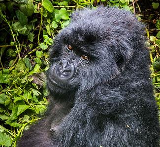 Mother Gorilla 3