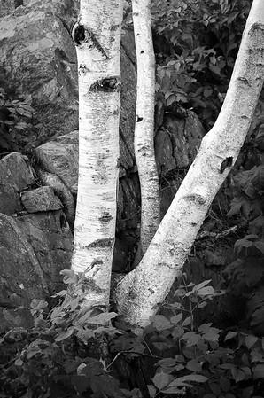 Birch Trees inB&W