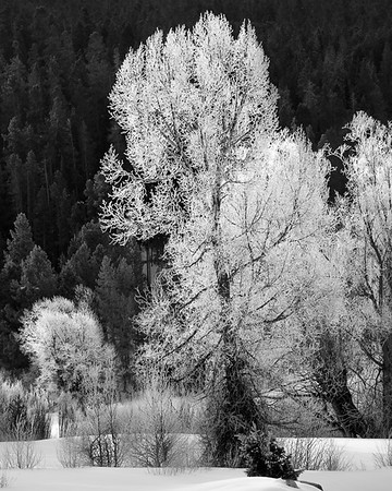 Iced Over Trees