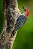 Red Bellied Woodpecker, by: Jim Lawrence, Wildlife, score: 12