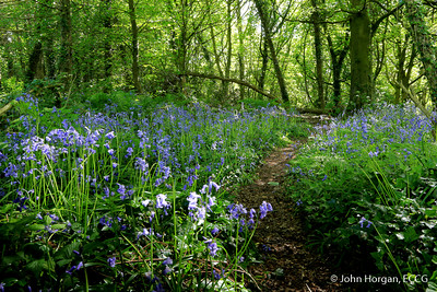 32 Bluebells in Ballyannon Wood, Midleton