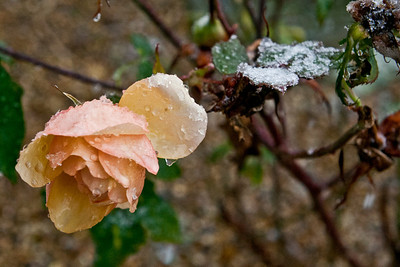 Mark_Fisher_Winter_Rose_tb