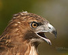 "Philip Langford - Red Tailed Hawk posing for the 400mm  - <a href=""http://www.GoSportPhotos.com"">http://www.GoSportPhotos.com</a>"