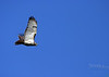 Philip Langford - Red Tailed Hawk in Flight, Macomb MIchigan  - http://