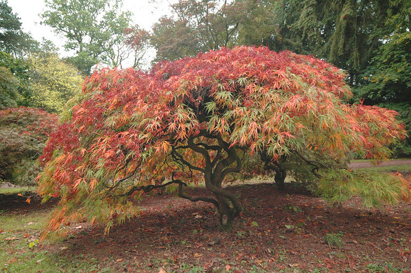 mike crowley Japanese Maple
