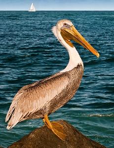 Pelican At Jupiter Pier