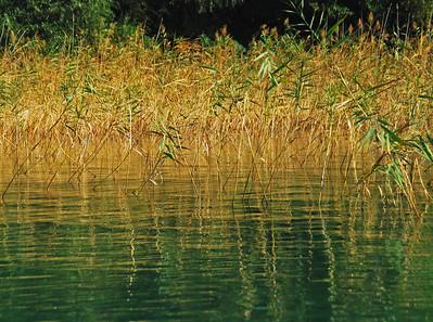Water Bamboo