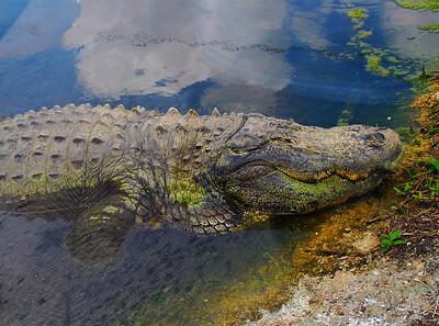 Crocogator