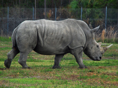 Iron Plated Rhino