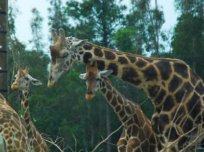 Giraffeville
