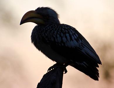 6 - Red Hornbill