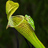 Tree Frog on Pitcher plant