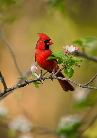 Cardinal in Apple tree