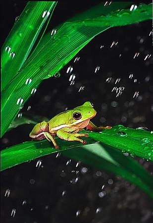 Tree Frog in Rain