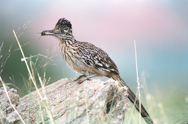 Road Runner with bug<br /> Palo Duro Canyon