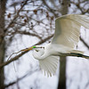 Great Egret<br /> nest building