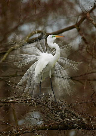 Great Egret <br /> breeding plumage