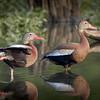 Mexican Wisteling Ducks<br /> Capturefile: E:\1DSF\Laka Martih Birds June-0113.TIF<br /> CaptureSN: 116000.003371<br /> Software: Capture One PRO for Windows
