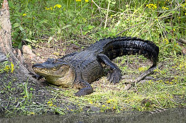 Alligator<br /> Lake Martin