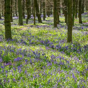 Ashridge in Spring