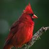 Male Cardinal Puffed