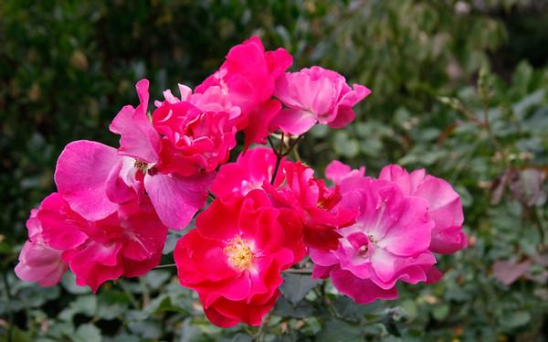 RON_Rosebloomfailing 1 original