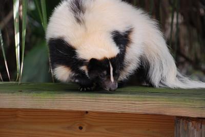 Odor Free Skunk