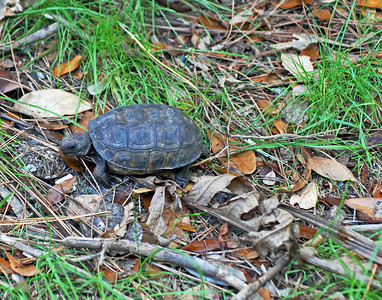 Baby Gopher Tortoise