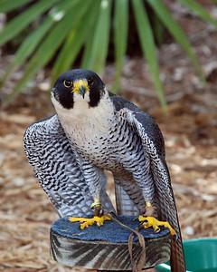 Perrigine Falcon
