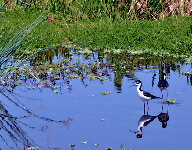 Black Necked Stilts Cool