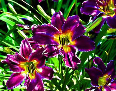 Purple Lillys