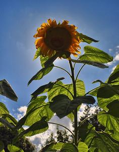 Sunny Sun Flower