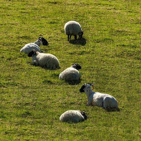 AR-Sheep Curve-Stephen Nicholson