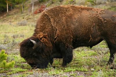 Yellowstone - Buffalo
