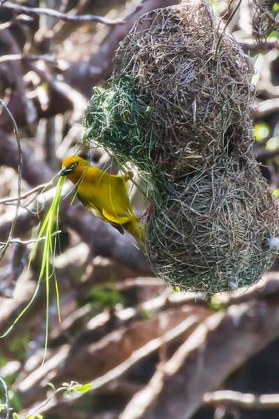 Weaver Bird Weaving