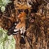 Hoopoe Feeding Time