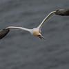Cruising Gannet