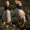 A Pair Of Puffins, Skomer