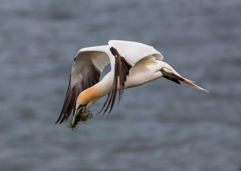 Nest Gathering Gannet