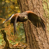 Harris Hawk Hunting