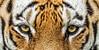 Tiger tiger burning bright Steve H